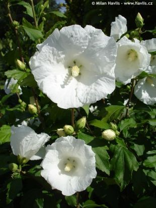 Rose Of Sharon Diana Has Large Pure White Blossoms Without The
