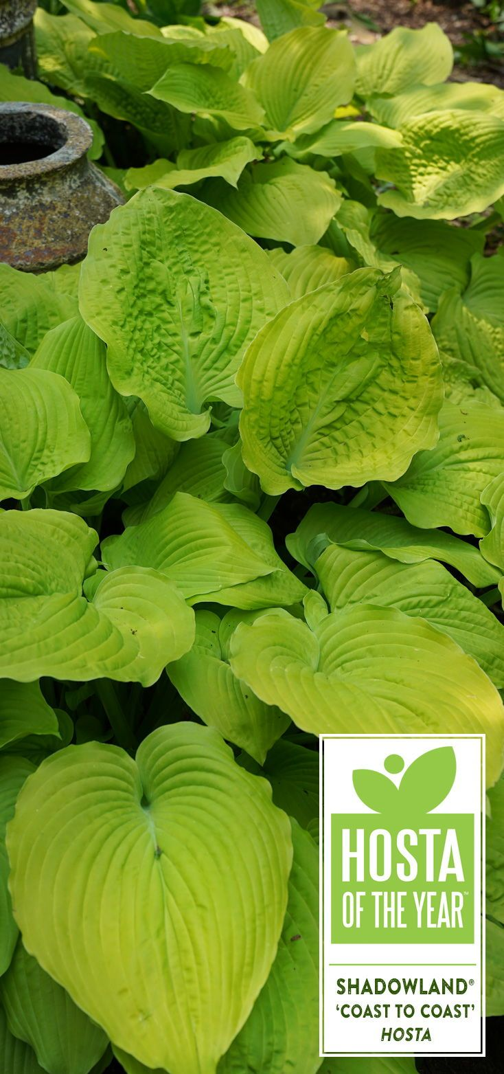 Shadowland® 'Coast to Coast' Hosta hybrid Perennials