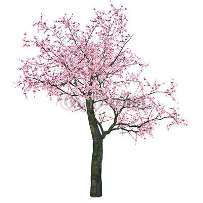 cherry blossom drawing google search