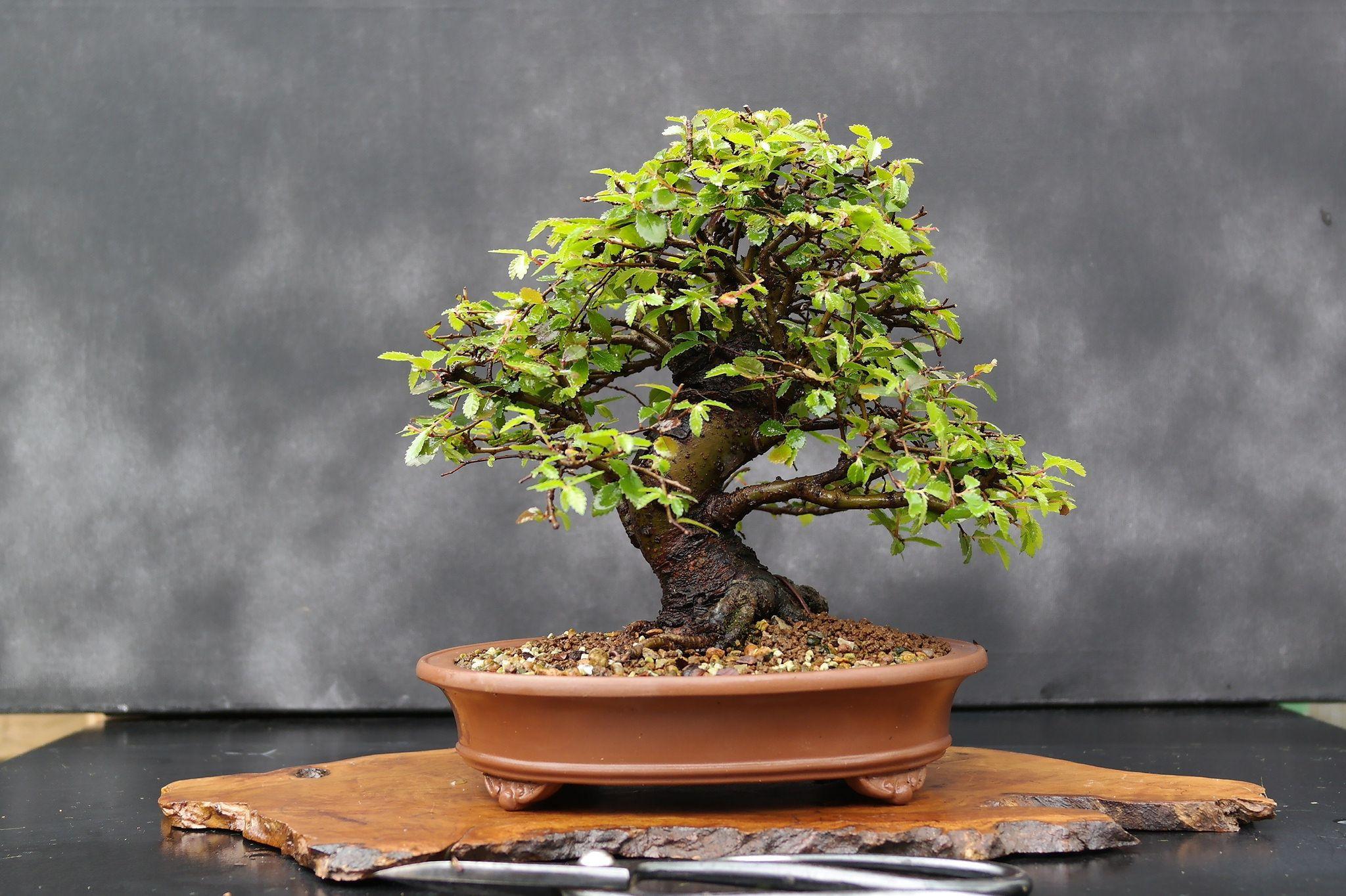 how to start a bonsai tree the diy blog pinterest. Black Bedroom Furniture Sets. Home Design Ideas