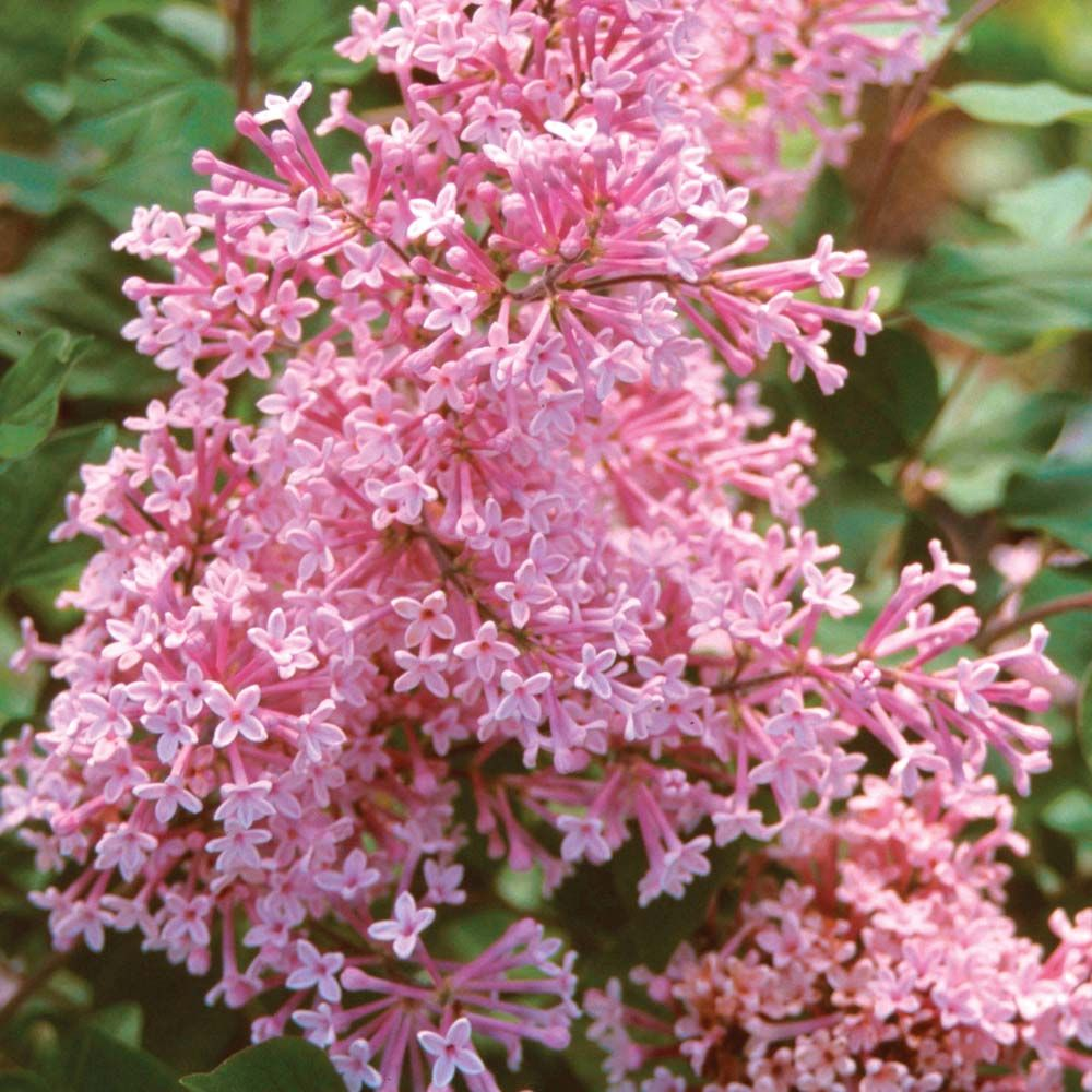 Lilac Bloomerang Everblooming Syringa Microphylla Syringa Pubescens Subsp Microphylla Hardy Shrub Lilac Tree Lilac Bushes Dwarf Lilac