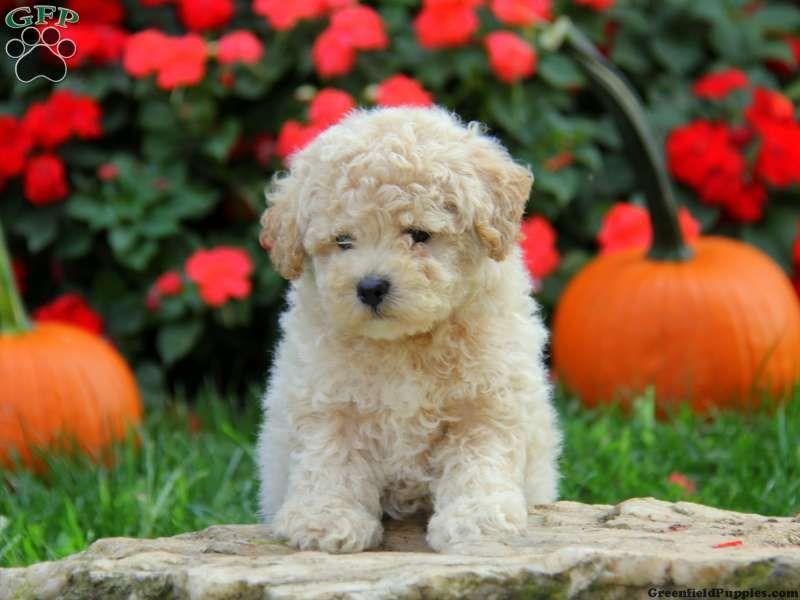 Dakota Bich Poo Puppy For Sale In Leola Pa Puppies For Sale Greenfield Puppies Puppies