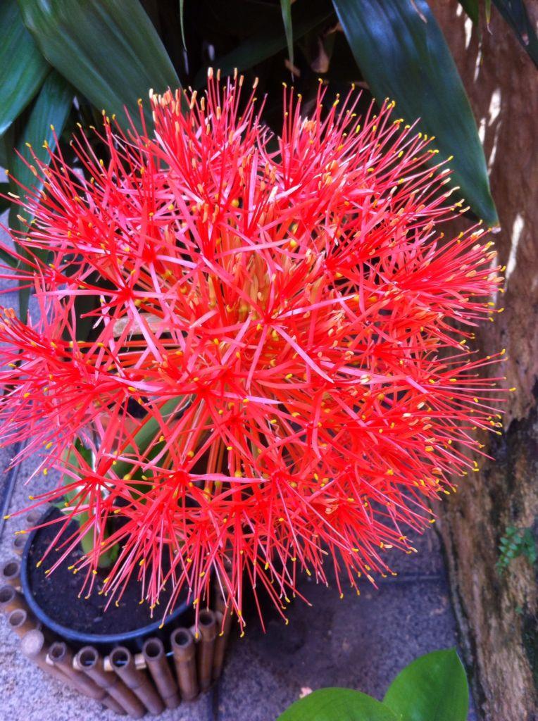 Lírio-de-natal, Scadoxus multiflorus