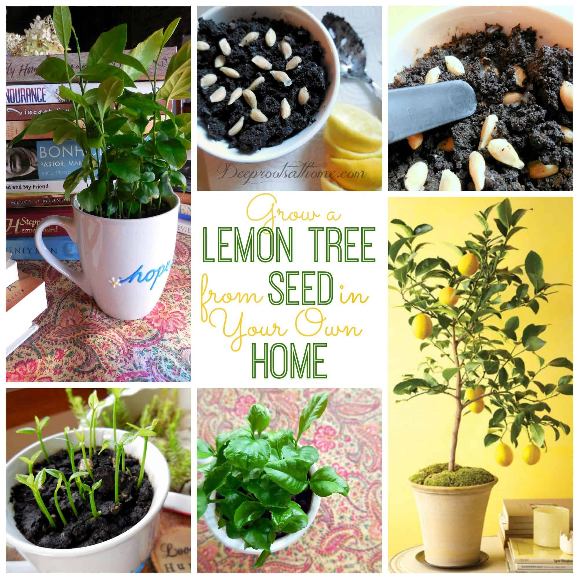 Grow A Lemon Tree From Seed In Your Own Home Lemon Tree From