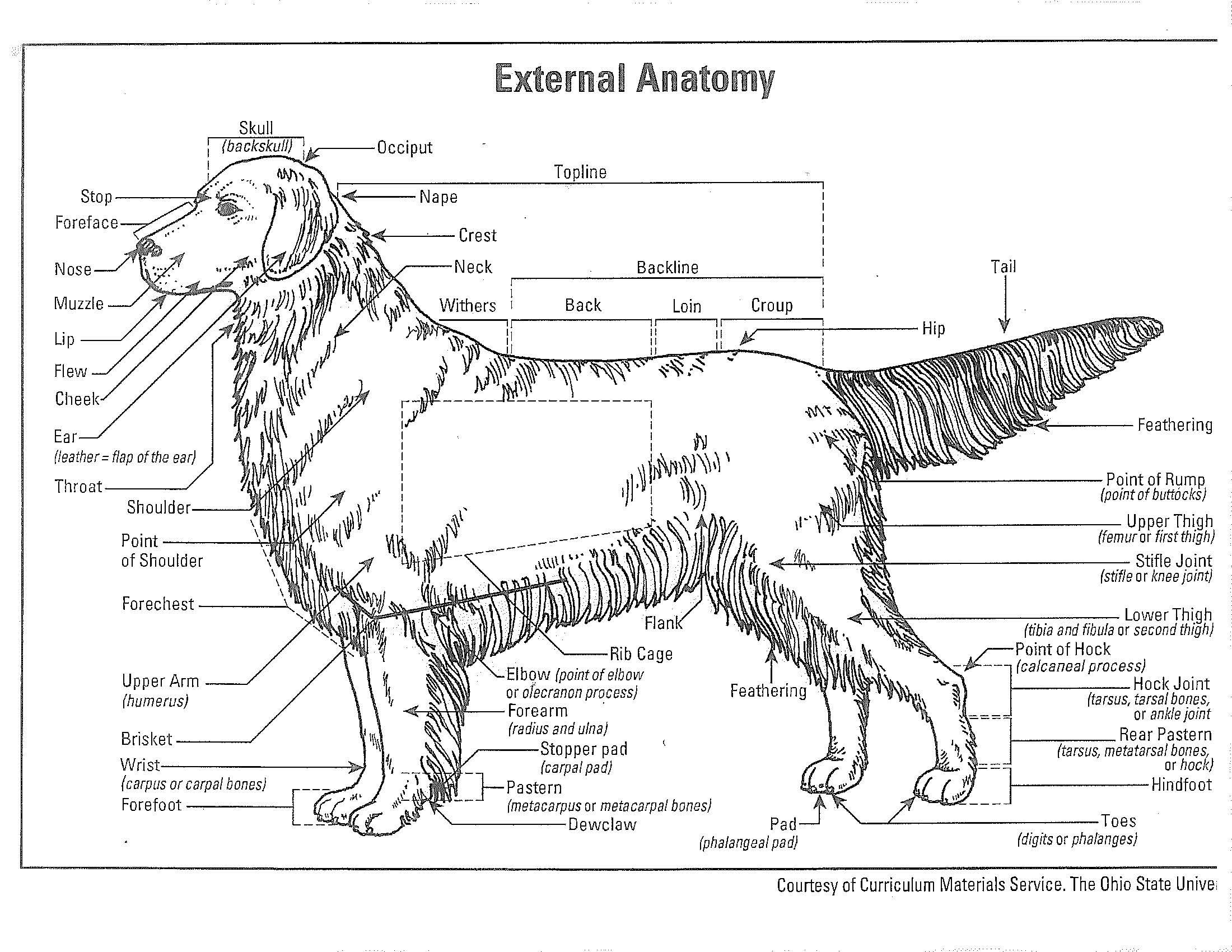 illustration of parts of a dog - Google Search | PVKC Dog Forum ...