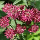 Astrantia major 'Ruby Wedding' - masterwort #kletterpflanzenwinterhart Astrantia major 'Ruby Wedding' - masterwort #kletterpflanzenwinterhart Astrantia major 'Ruby Wedding' - masterwort #kletterpflanzenwinterhart Astrantia major 'Ruby Wedding' - masterwort #kletterpflanzenwinterhart Astrantia major 'Ruby Wedding' - masterwort #kletterpflanzenwinterhart Astrantia major 'Ruby Wedding' - masterwort #kletterpflanzenwinterhart Astrantia major 'Ruby Wedding' - masterwort #kletterpflanzenwinterhart Ast #kletterpflanzenwinterhart
