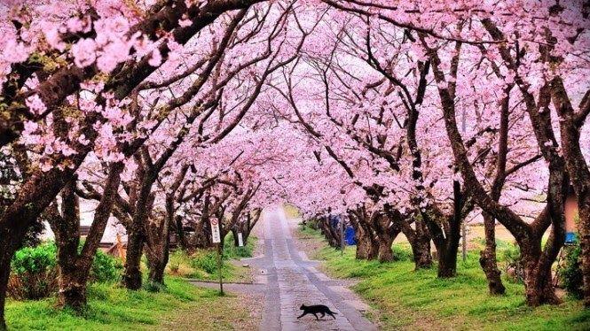 Foto Bunga Sakura Terindah Di Dunia 10 Taman Bunga Terindah Di Indonesia Salah Satunya Tawarkan Sakura 10 Potret Kec Di 2020 Bunga Sakura Pemandangan Fotografi Alam