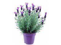 Ogrodowe Rosliny Ozdobne Kupuj I Zamawiaj W Obi Lavandula Plants