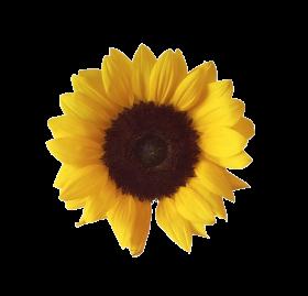 Alphabetical Pnghunter Part 735 Sunflower Png Love Png Sunflower Flower
