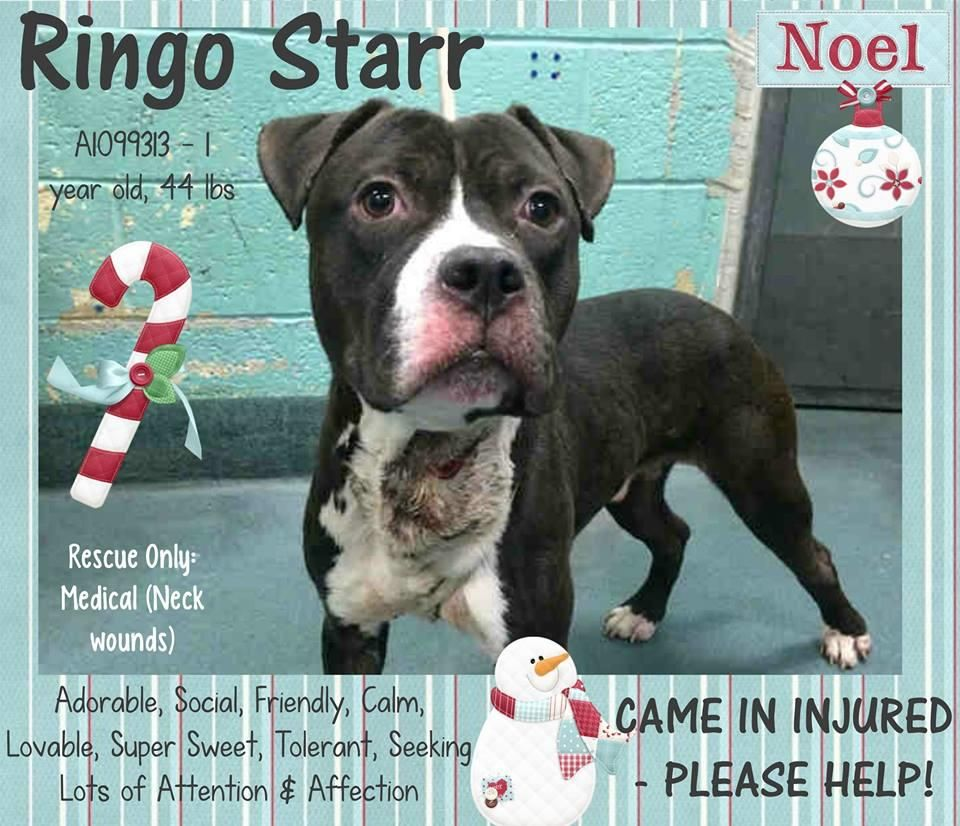 RINGO STARR – A1099313  Poor dog, with a wound, on death list! Rescue Only, needs foster! All costs are covered, which means you must go through a rescue partnered with the shelter to foster or adopt. You must contact the Help Desk of this page by Emailling them @ helpdogs@urgentpodr.org. They will help and guide you with which rescue applications to fill out. They know which rescues are pulling. They will make the process go as quick and as smooth as possible