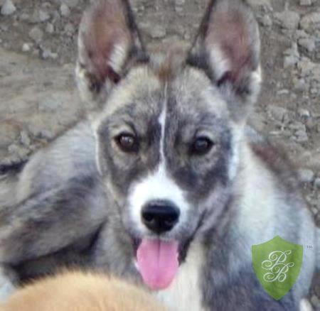 Puppies For Sale Texas Siberian Husky Breeders Siberian Husky