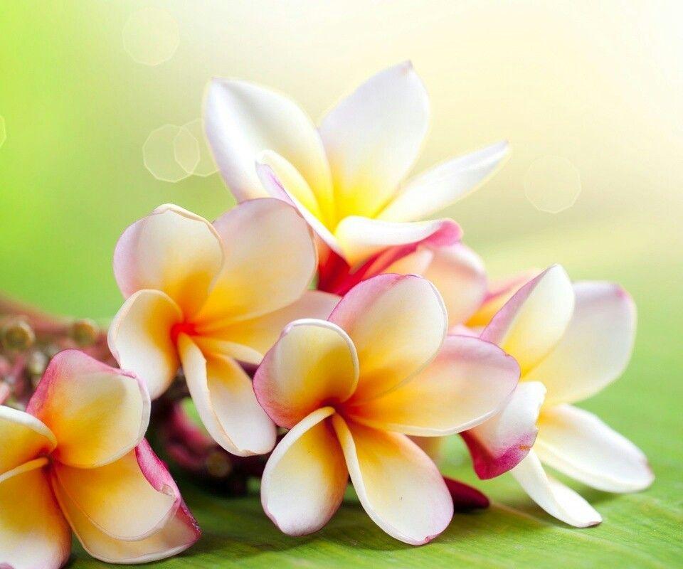 Fleurs de tiar flowers pinterest fleurs exotiques frangipanier et fleur jardin - Fleur de tiare dessin ...