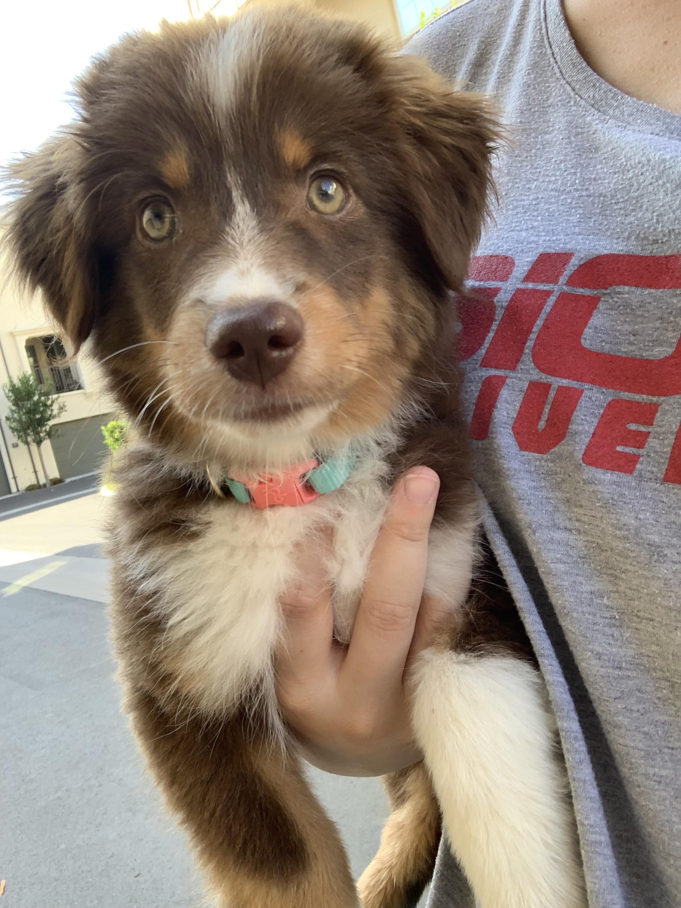 41 Australian Shepherd Mix Breed Reviews Reviewed By Veterinarians Australian Shepherd Puppies Australian Shepherd Dogs Aussie Puppies
