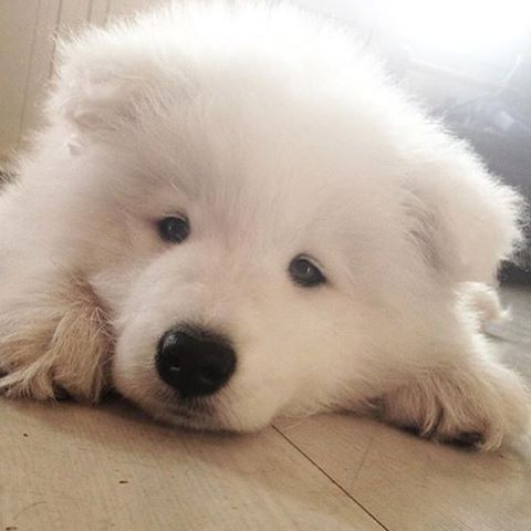 puppyfabs/2016/08/12 18:56:30/• 🐶Picture by© : @kodathesamoyed