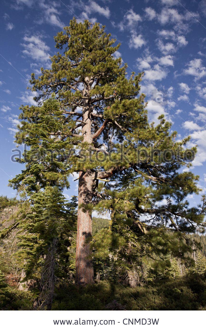 jeffrey-pine-pinus-jeffreyi-old-tree-habit-growing-at-high-altitude ...