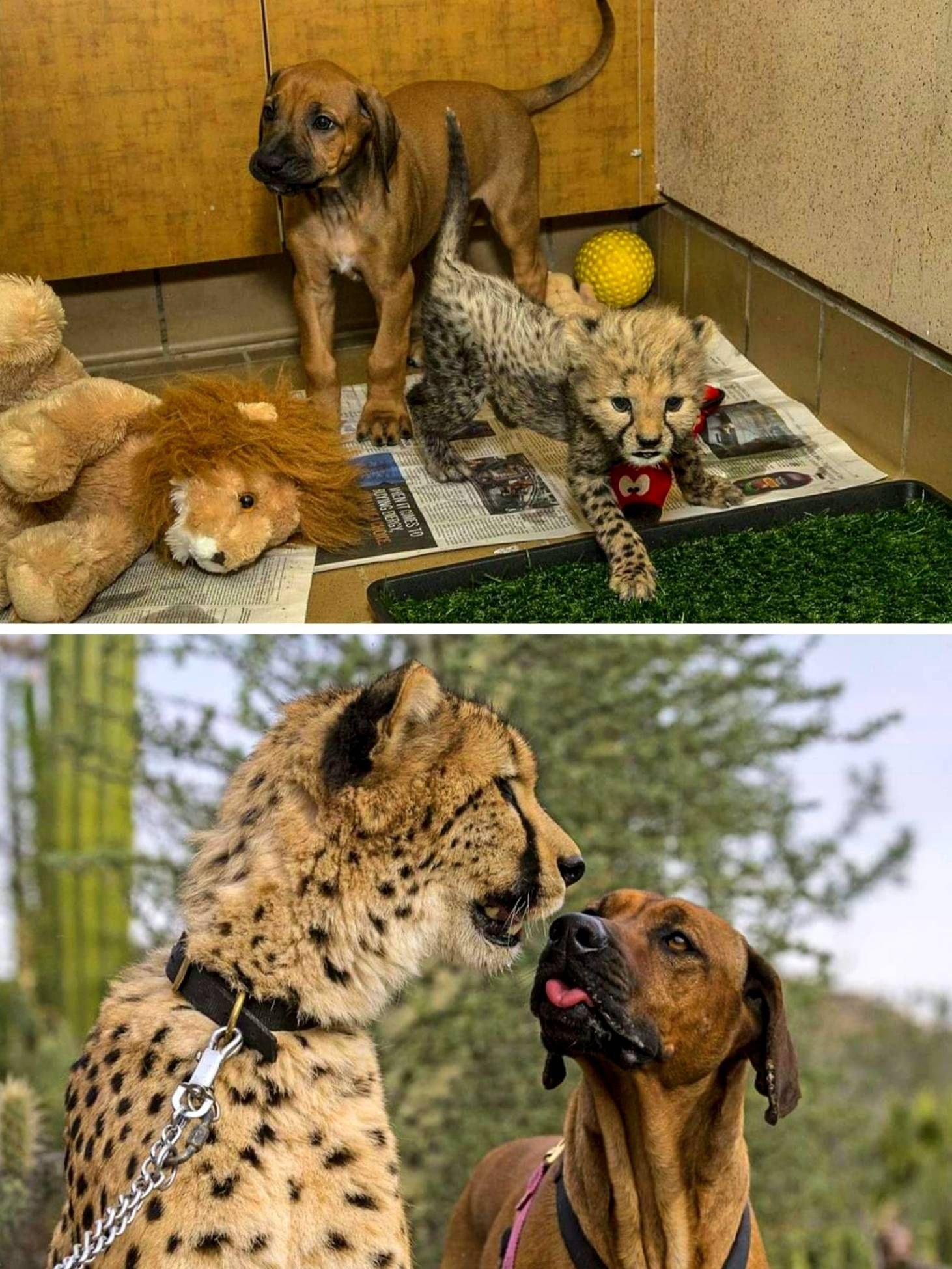 20 Pictures Of Cheetah And His Emotional Support Bff Grow Up Together Aww Cute Adorable Cute Kitten Pics Kitten Pictures Kittens Cutest