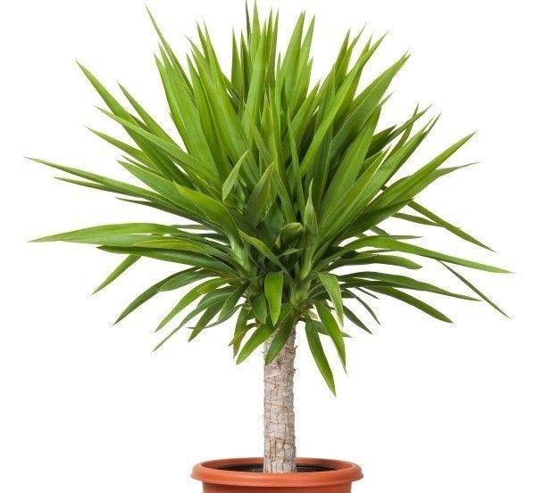 pflanzen f rs bad die besten profi tipps auf einen blick yucca palme b der und zimmerpflanzen. Black Bedroom Furniture Sets. Home Design Ideas