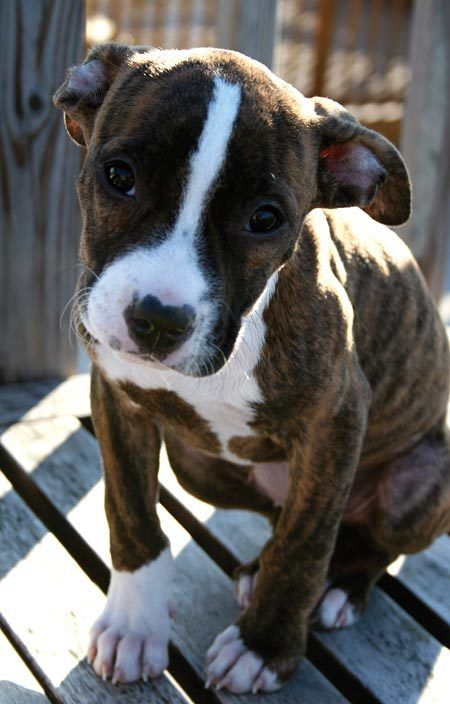 And People Say Pitbulls Are Vicious Any Dog S Disposition Depends Upon The Love They Get From Their Owner Pitbull Terrier Cute Puppies Baby Dogs