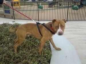 Adopt Dingo On Pitbull Terrier Dog Finder Dogs