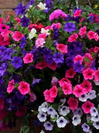 Petunia Brilliance Plants Collection 3 Of Each Petunia Surfinia