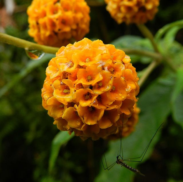 Buddleja Globosa Orange Flowers Different Flowers Flower Garden