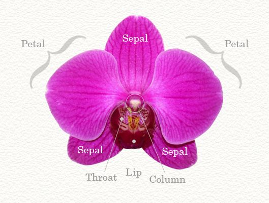 Growing Orchids Anatomy Terms Growing Orchids Orchid Plants Orchid Care