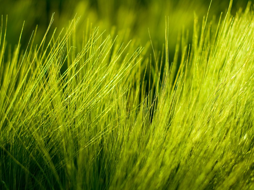 Soothing Green Grass Plant Wallpaper Green Simple Wallpapers