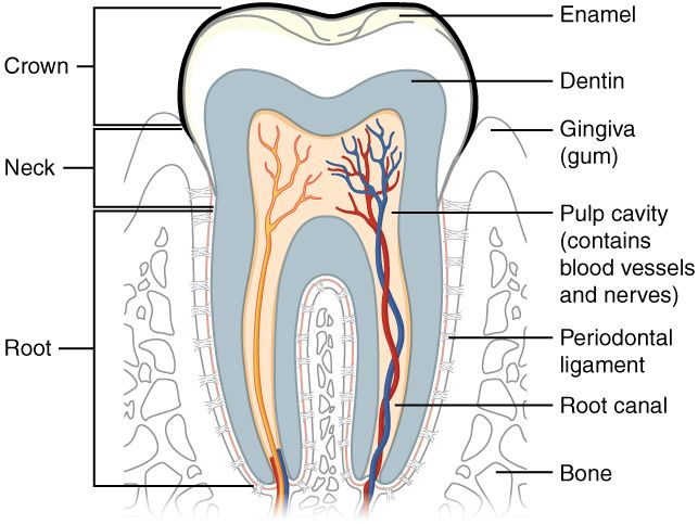 This Diagram Shows A Cross Section Of A Human Tooth Elucidating Its Structure The Major Parts Of The Tooth Along Wit Anatomy And Physiology Anatomy Physiology
