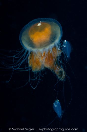 Egg Yolk jelly with juvenile fish and a crab catching a ride.