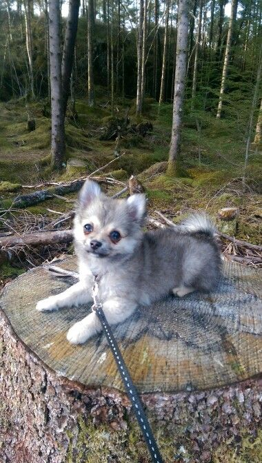 Pomeranian Chihuahua Mix Puppy 3 Months Old Louie Puppies