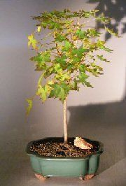 Bonsai Boy Japanese Green Maple Bonsai Tree  Large Acer Palmatum by Bonsai Boy -- Check out this great product.