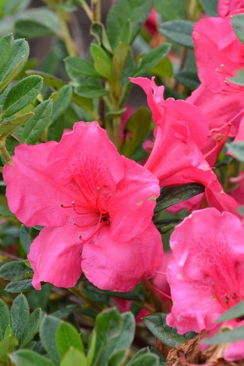 Buy Autumn Carnival Encore Azalea For Sale Online From Wilson Bros Gardens Azalea Flower Azaleas Garden Online