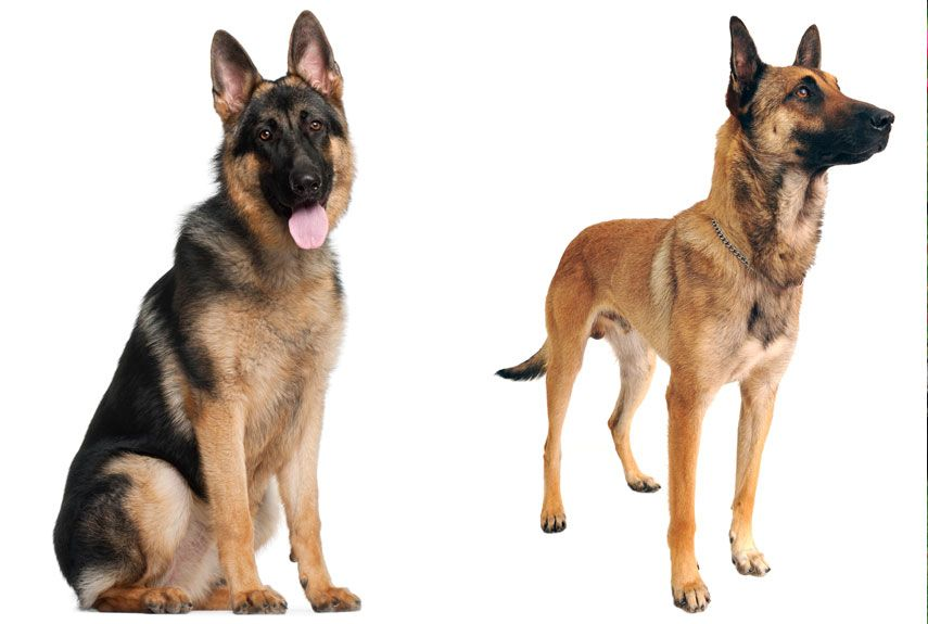 How To Tell The Difference Between Look Alike Dog Breeds Belgian