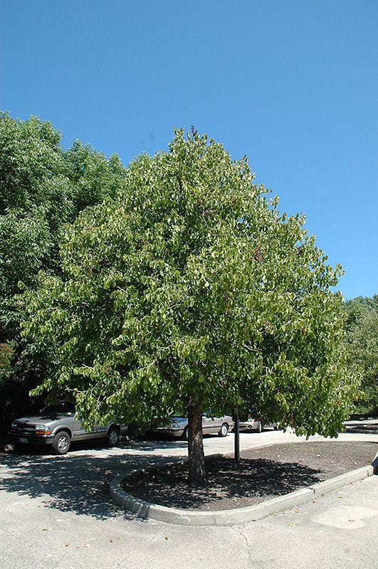 Turkish Hazelnut Corylus Colurna At Connon Nurseries Cbv Dundas Ontario Deciduous Trees