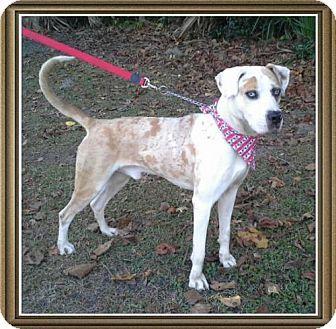 Ocala Fl Catahoula Leopard Dog Mix Meet Tug A Dog For