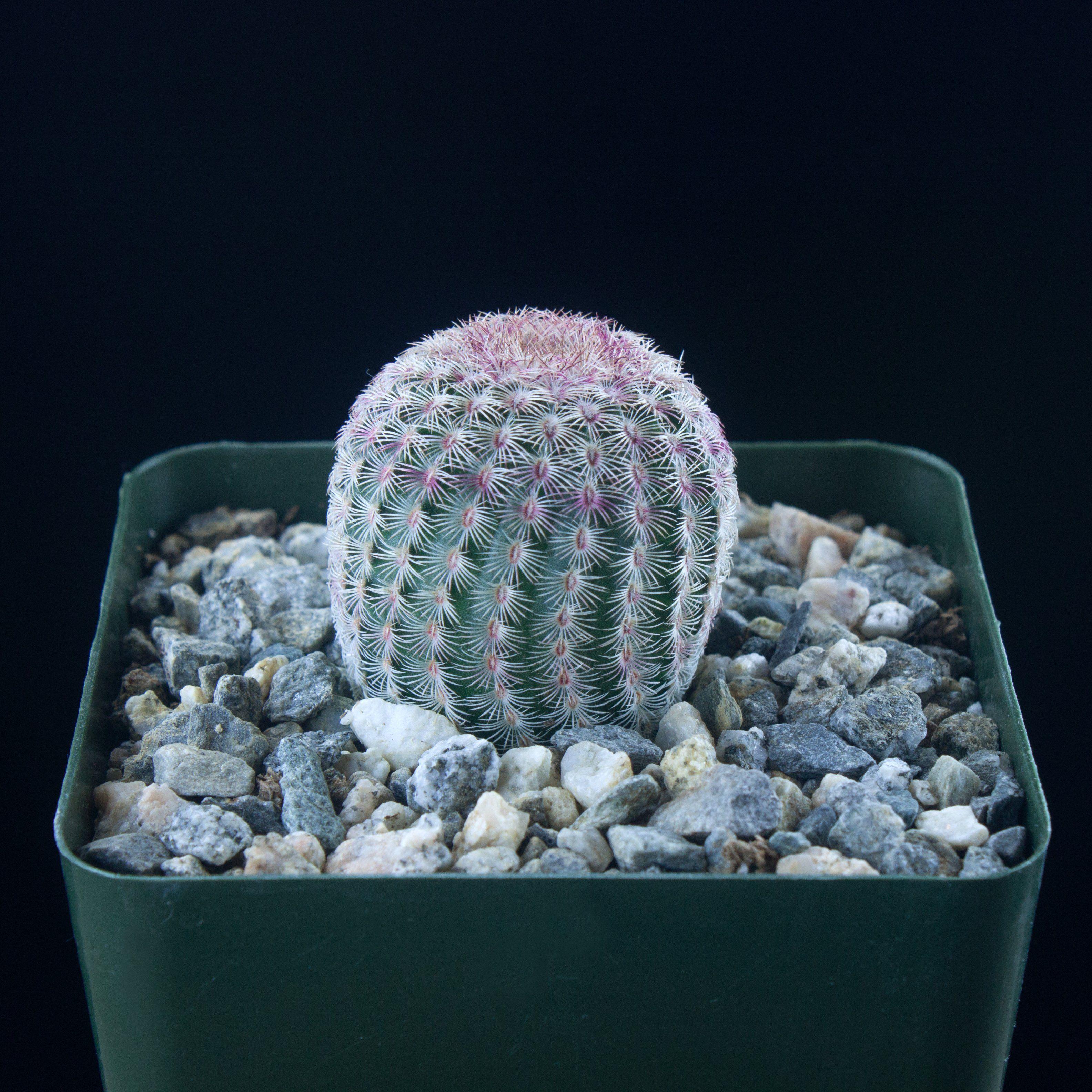 Echinocereus Rigidissimus Ssp Rubispinus 4 Inch Pot Size Rainbow Cactus Red Purple Bright Pink