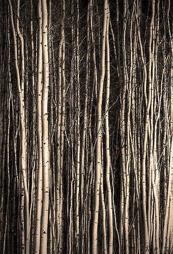 Birch 11