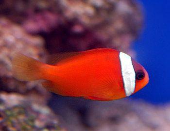 Awesome Tomato Clownfish My Favorite Marine Fish Louise