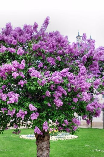 Lilac Trees Are A Good Choice For Most Any Landscape Lilacs Have Large Puffy Colorful Blooms In Spring But Some Va Lilac Tree Flowering Trees Myrtle Tree