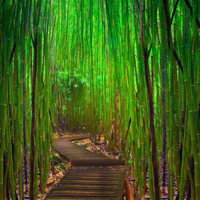 Hana Highway Bamboo Forest, Maui.