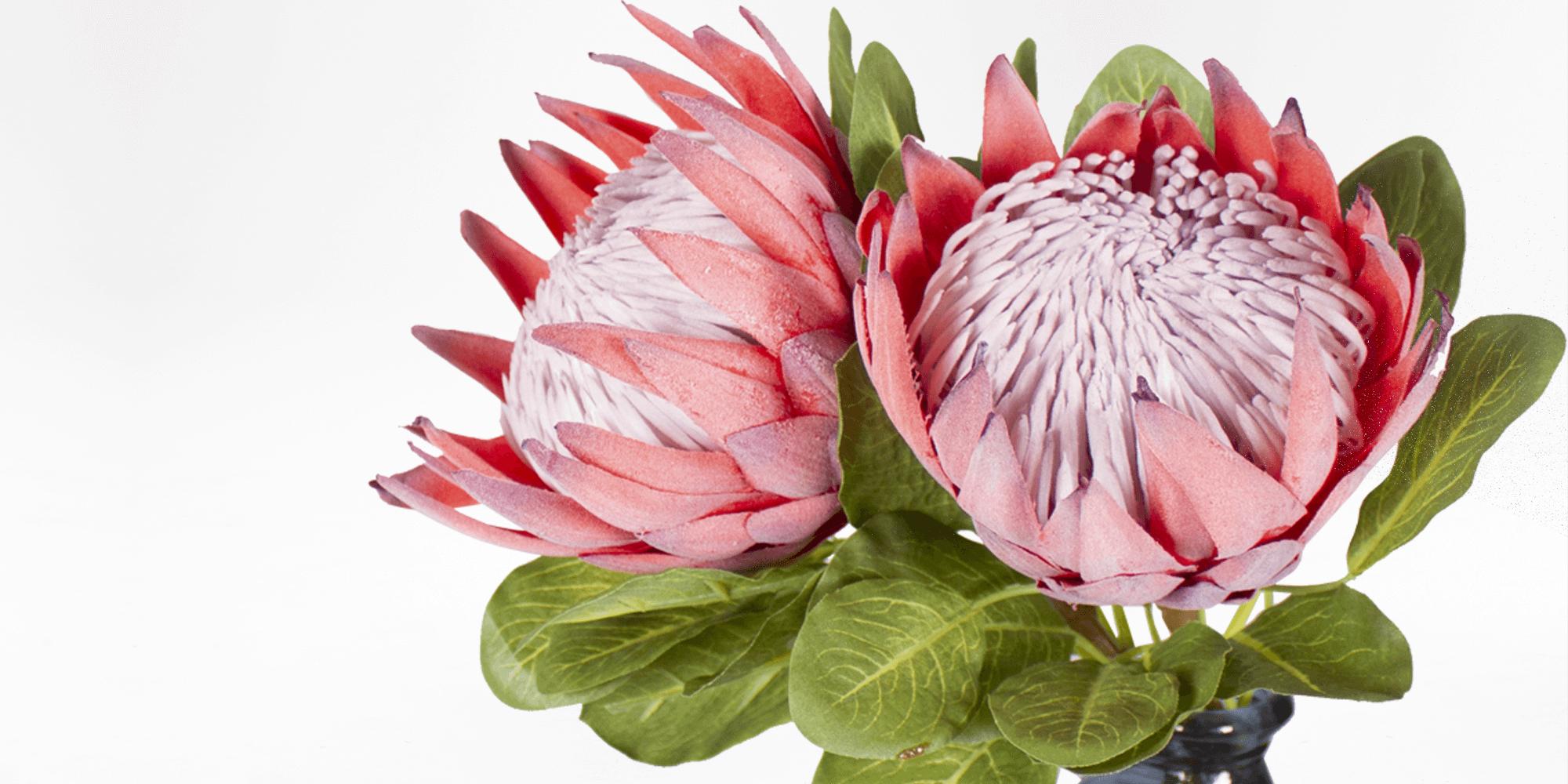 King Protea Natural Coricraft Protea Flower King Protea Protea