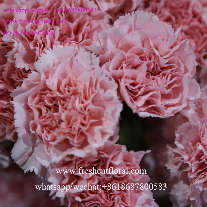 Whatsapp+8618687800583 wholesale suppliers directory carnation red ...
