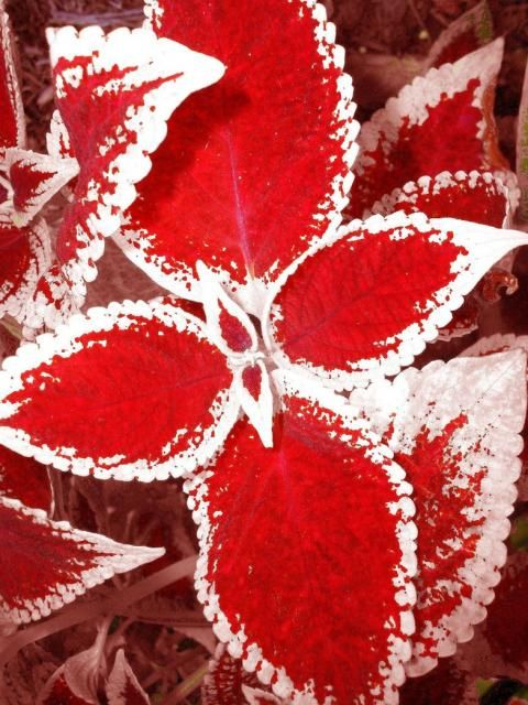 Red and white coleus