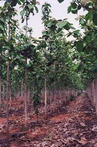 Government agencies require that companies also replant areas that have been cleared in the past. This is typically done with Teak or Mahogany plantations that can replace ranching areas. It doesn't take long to turn a bare patch of land into a plantation forest; after only 5 years, the average height of these plantation trees is already 15 feet.