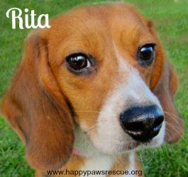 Adopt Rita On Adoptable Beagle Beagle South Plainfield