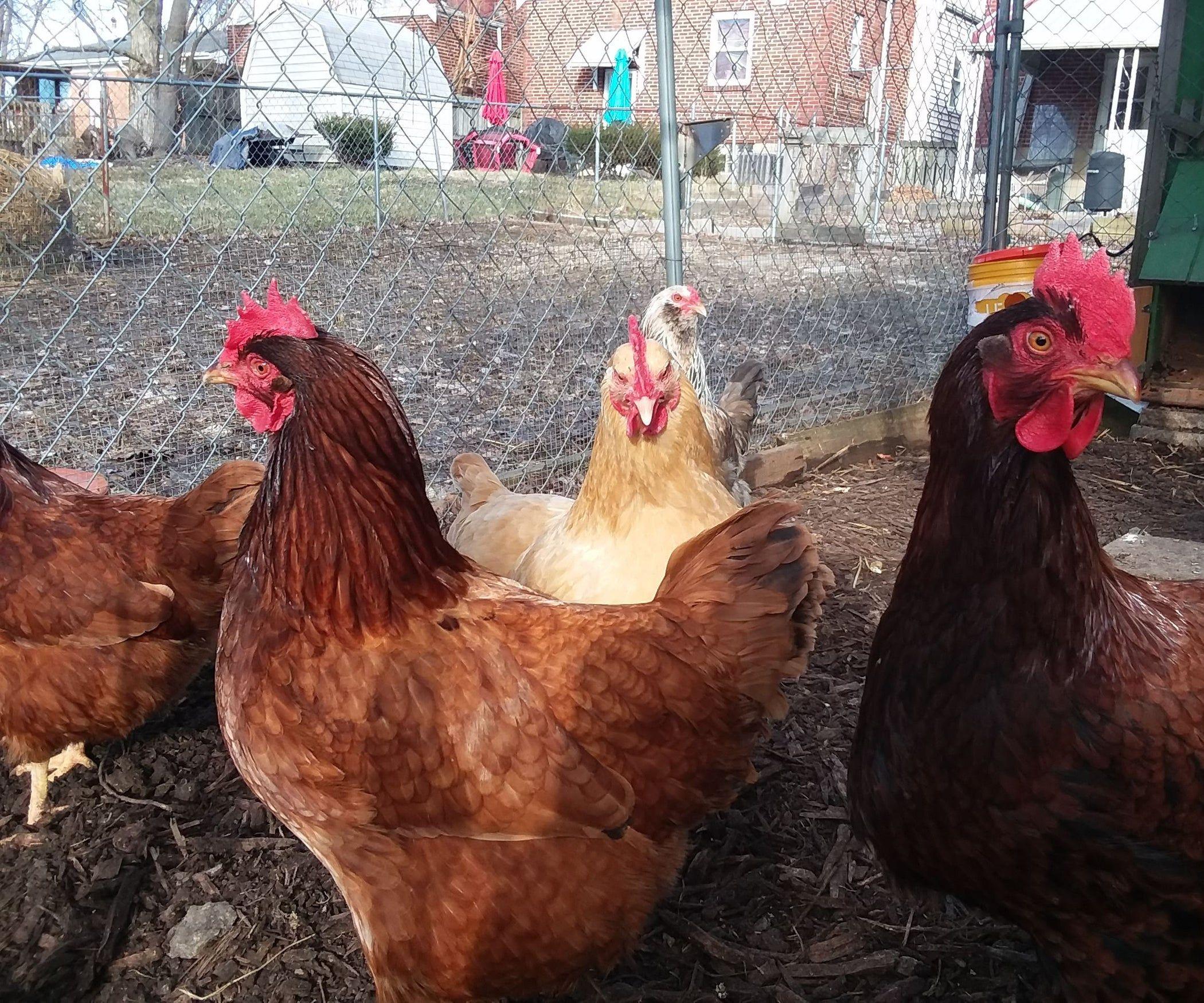 Automatic chicken coop door no programming needed