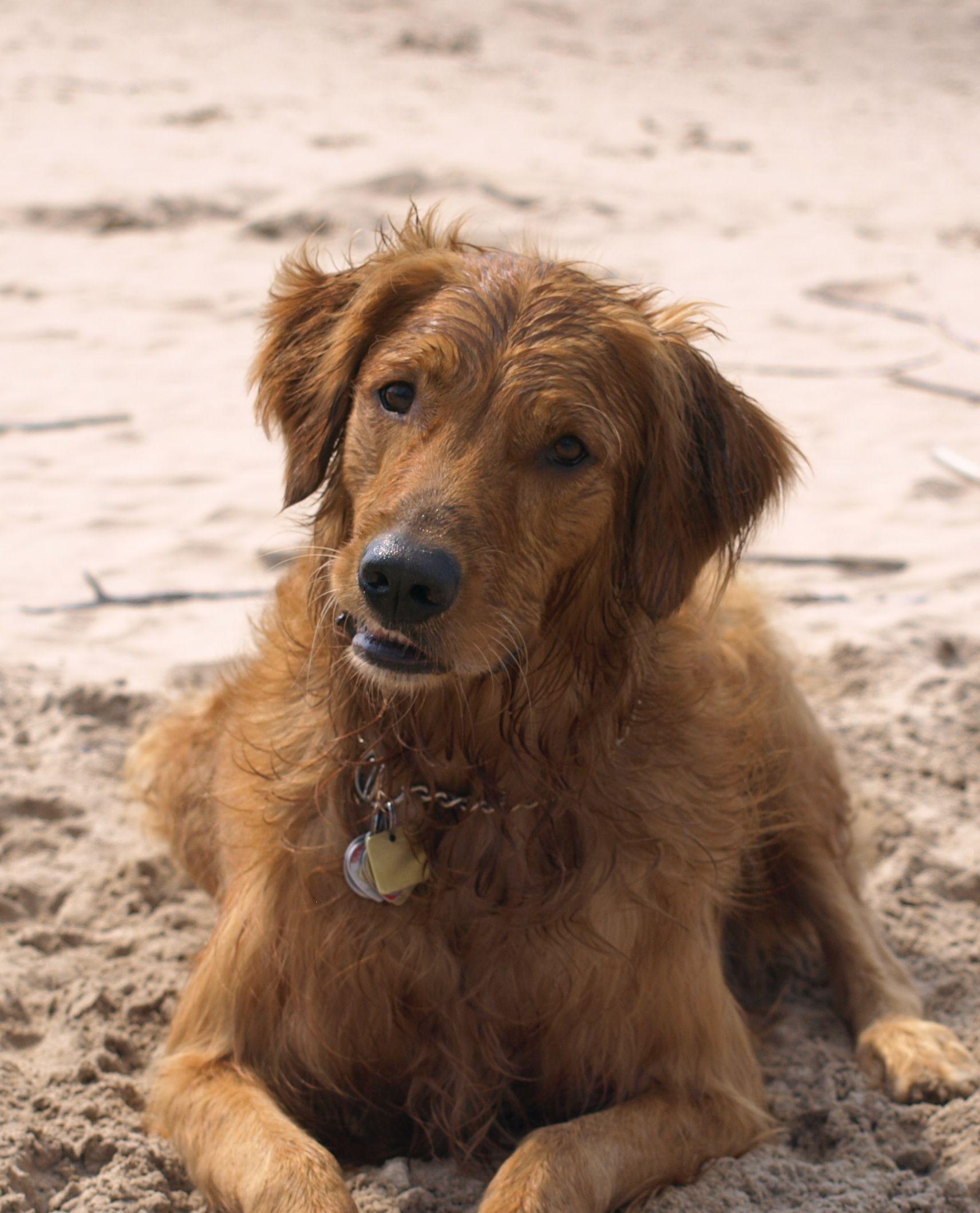 Gordie Hobbs Golden Retriever Grand Bend Beach Golden Retriever