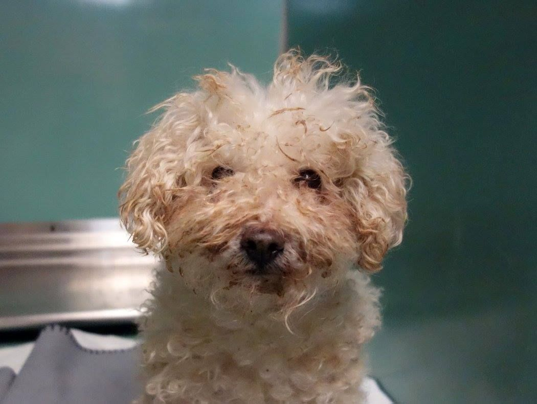 TO BE DESTROYED 10/30/14 Brooklyn Center -P ** SENIOR ALERT ** My name is ASHLEY. My Animal ID # is A1018408. I am a female white poodle toy mix. The shelter thinks I am about 12 YEARS old. I came in the shelter as a STRAY on 10/22/2014 from NY 11208, owner surrender reason stated was STRAY.