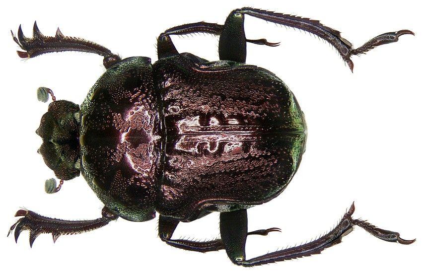 Gymnopleurus fulgidus