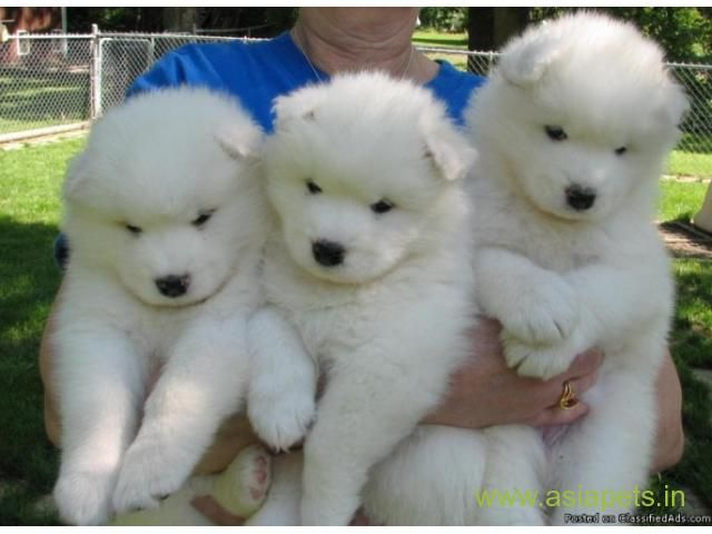 Samoyed Puppy For Sale In Pune Low Price Samoyed Puppy Fluffy